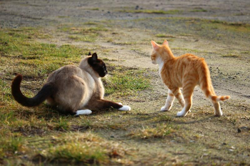 Chats combats